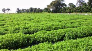 Plantación de Stevia en España