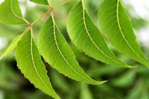 Aceite de neem para el pelo