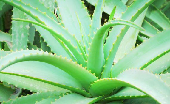 Aloe Vera Planta beneficiosa para adelgazar