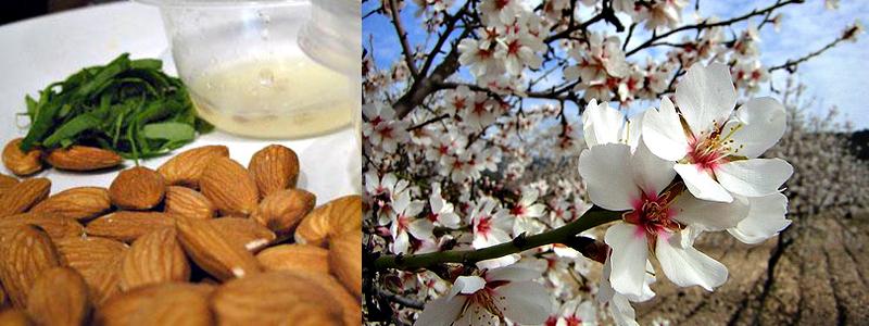 Foto de un Almendro en flor y almendras - Aceite de Almendras para la salud - Yotuspanishoil.com