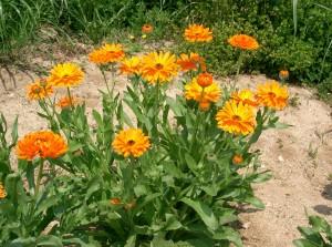 Aceite de Caléndula, planta propiedades y beneficios