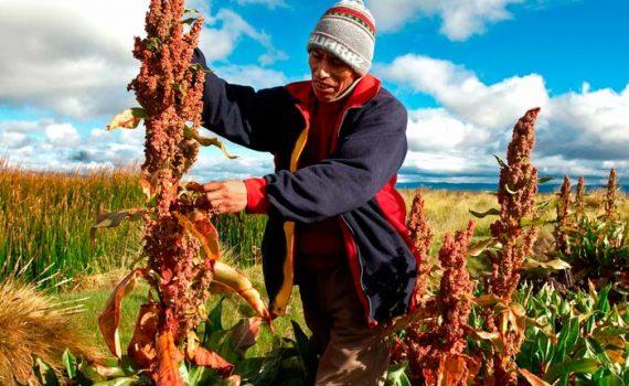 Planta de la Quinoa o quinua ¿Qué es?