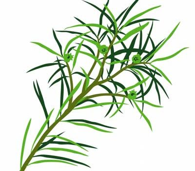 Planta de Árbol de Té propiedades Aceite