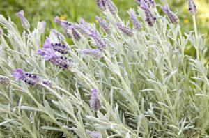 Planta de espliego propiedades para la salud