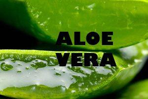 Planta de Aloe Vera - Yotuspanishoil.com