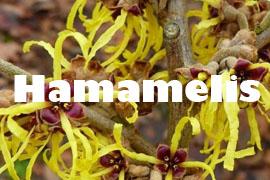 hamamelis plantas para cuidarte - Yotuspanishoil.com