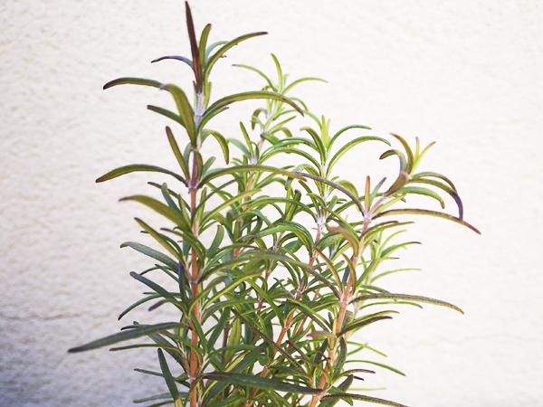 Planta de Romero - Yotuspanishoil.com