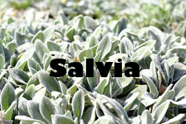 salvia beneficiosa para la salud - Yotuspanishoil.com